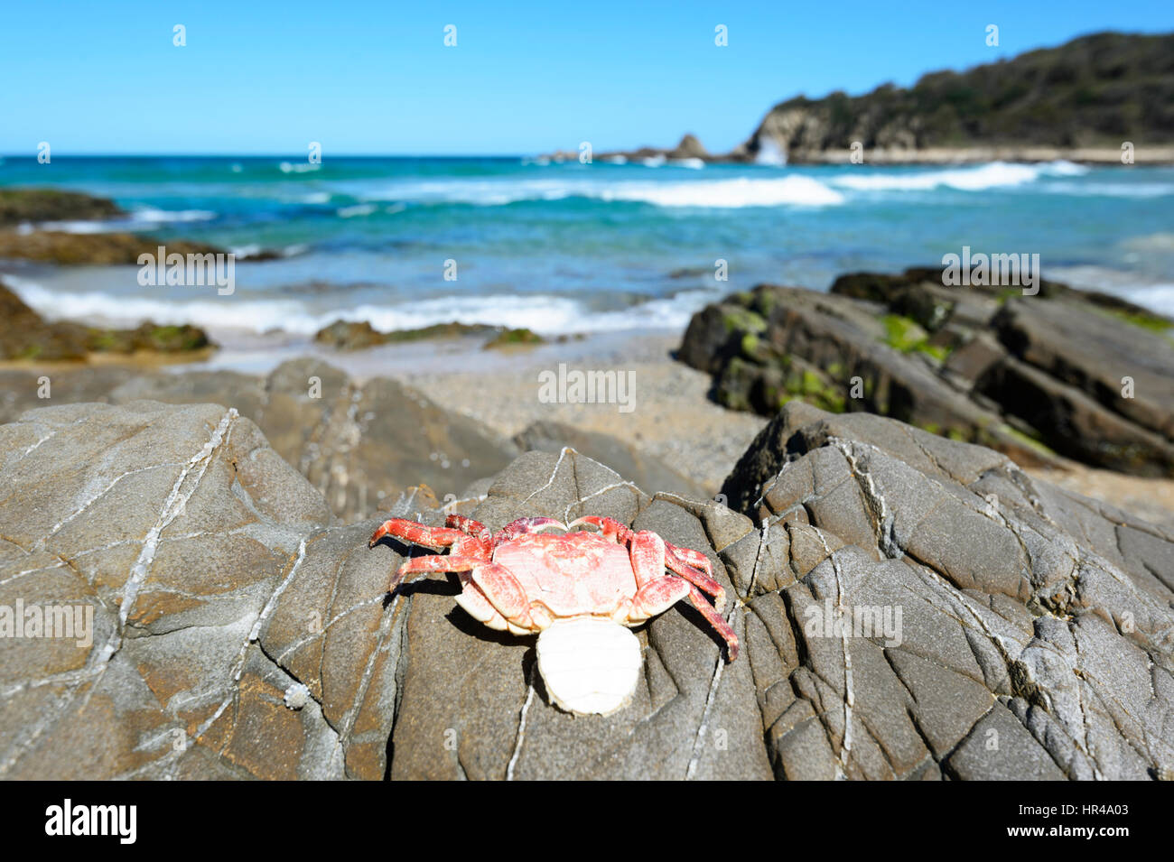 Dead crab on rocks at Potato Point, New South Wales, Australia - Stock Image