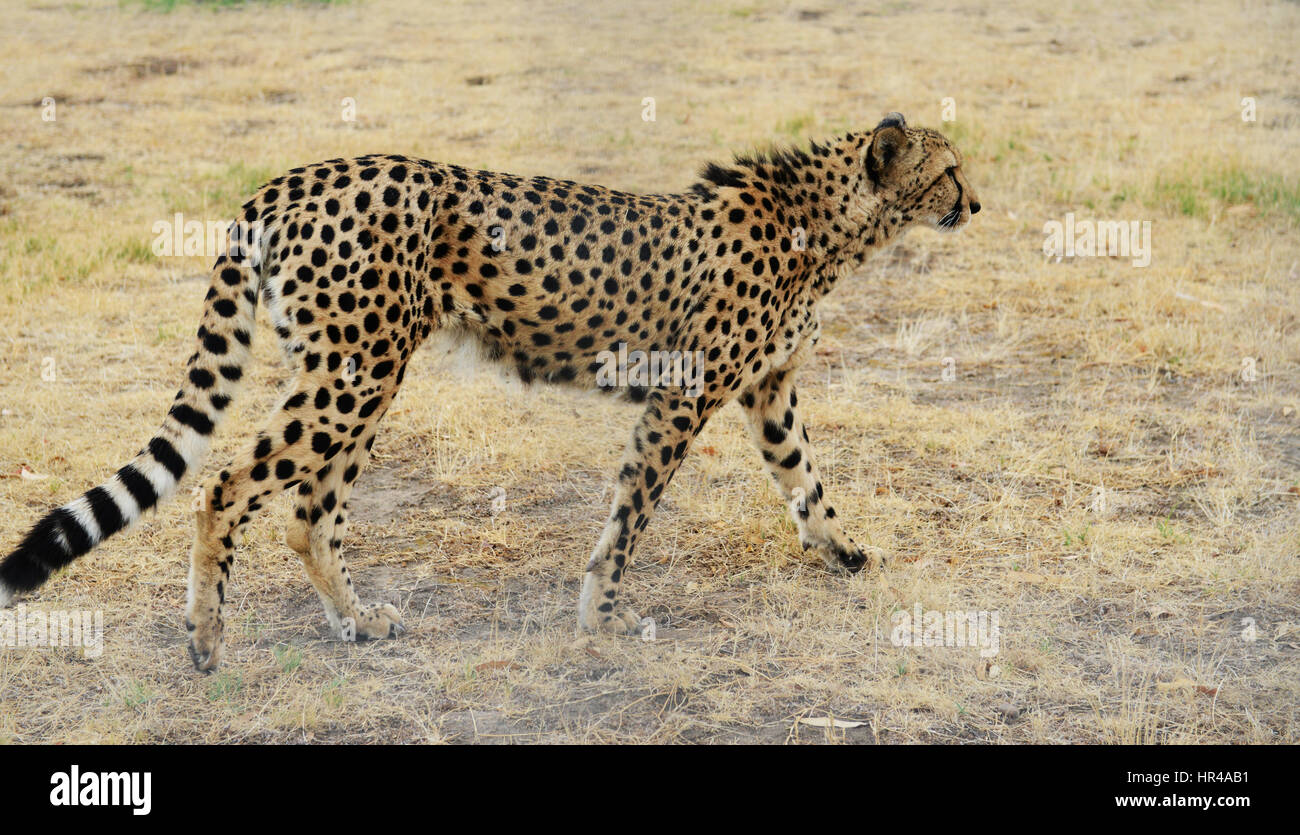 A beautiful male cheetah with a coat covered with dark black spots. - Stock Image