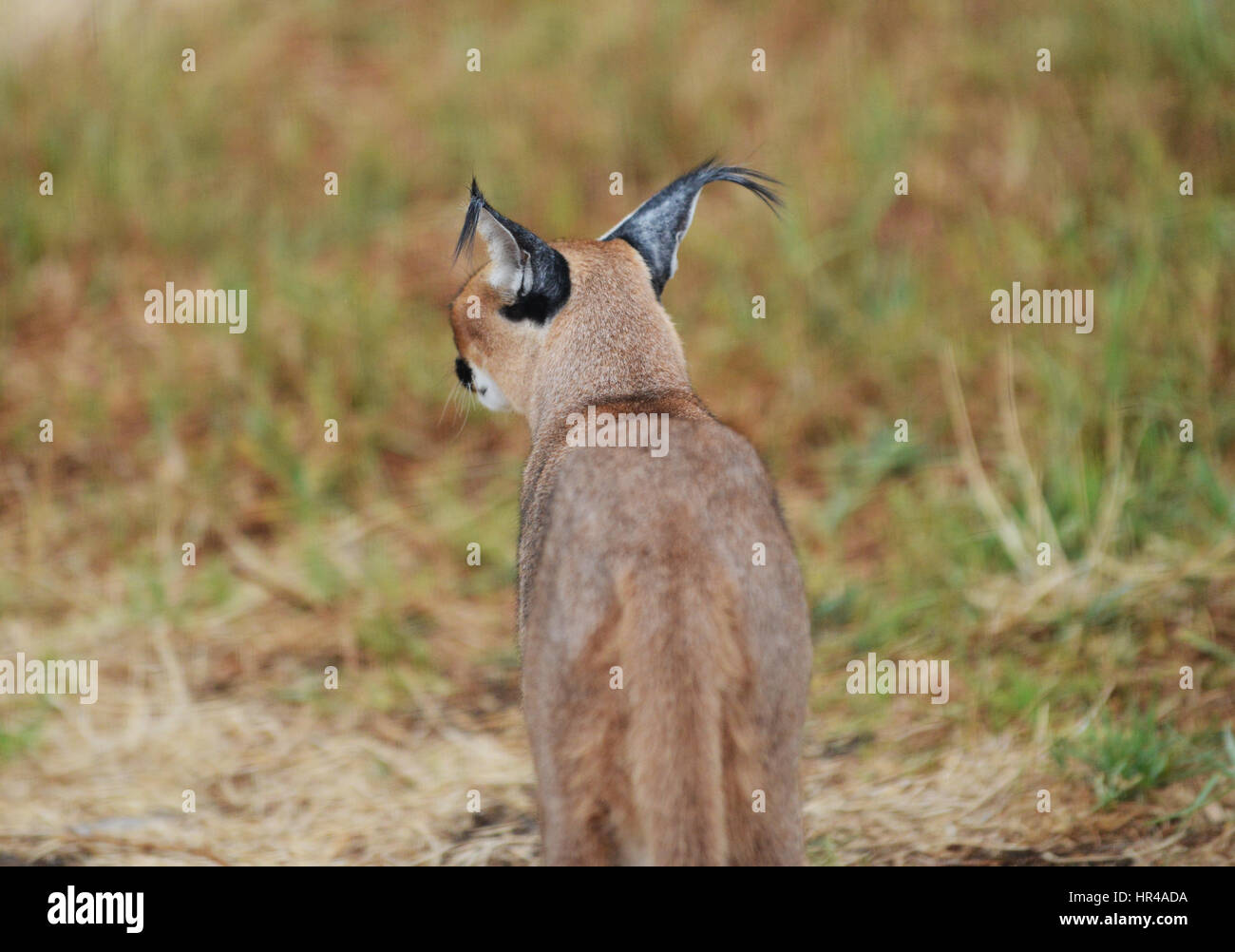 A beautiful Caracal in South Africa. - Stock Image