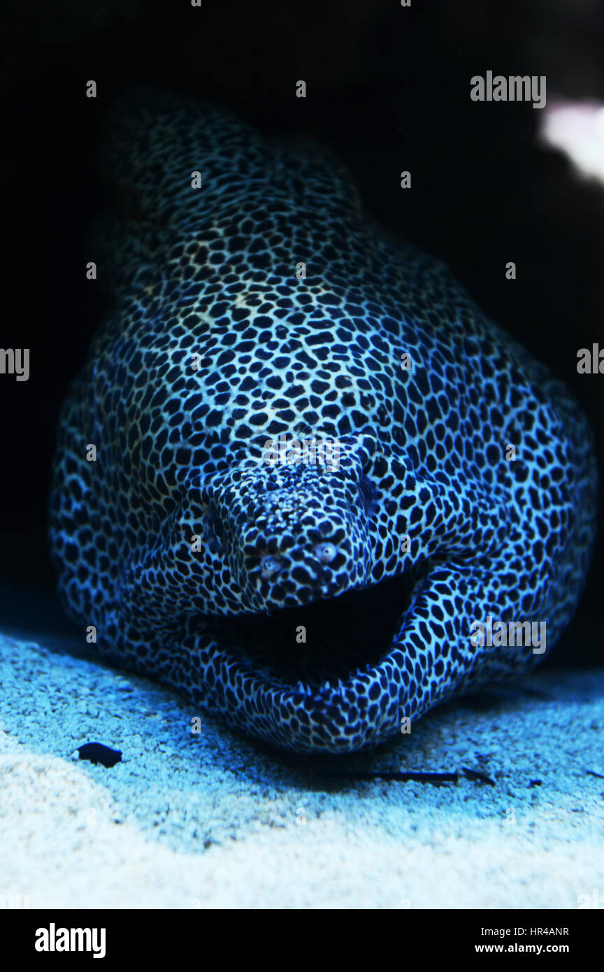 A Honeycomb moray eel in Cape Town's Two Oceans aquarium. - Stock Image