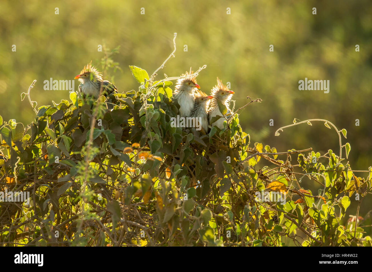 Four Backlit Guira Cuckoos perched in a bush at sunset in the Pantanal region of Brazil, South America - Stock Image