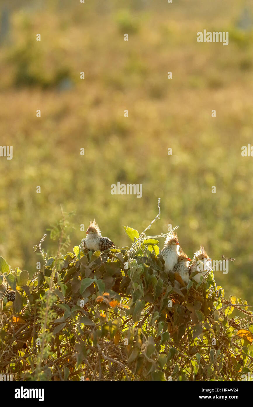 Backlit Guira Cuckoos perched in a bush at sunset in the Pantanal region of Brazil, South America - Stock Image