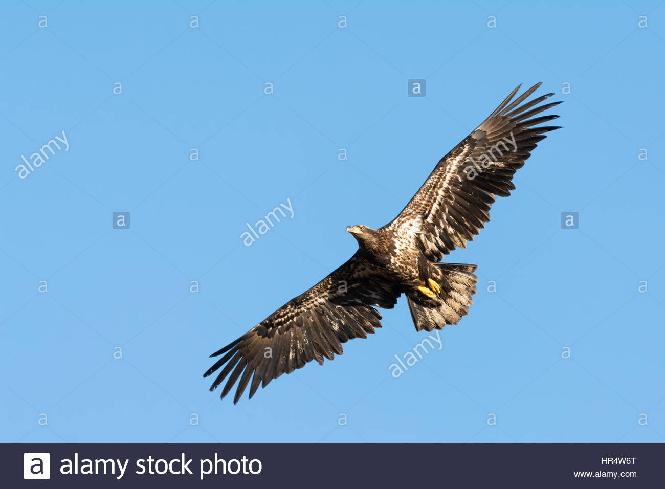 Juvenile Bald Eagle in flight with its wings extended. - Stock Image