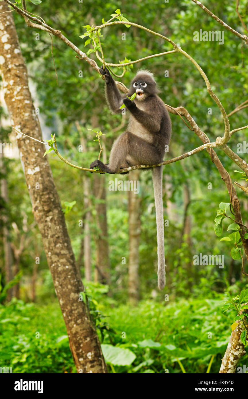 a spectacled langur monkey or Trachypithecus obscurus sitting in a tree eating leaves - Stock Image