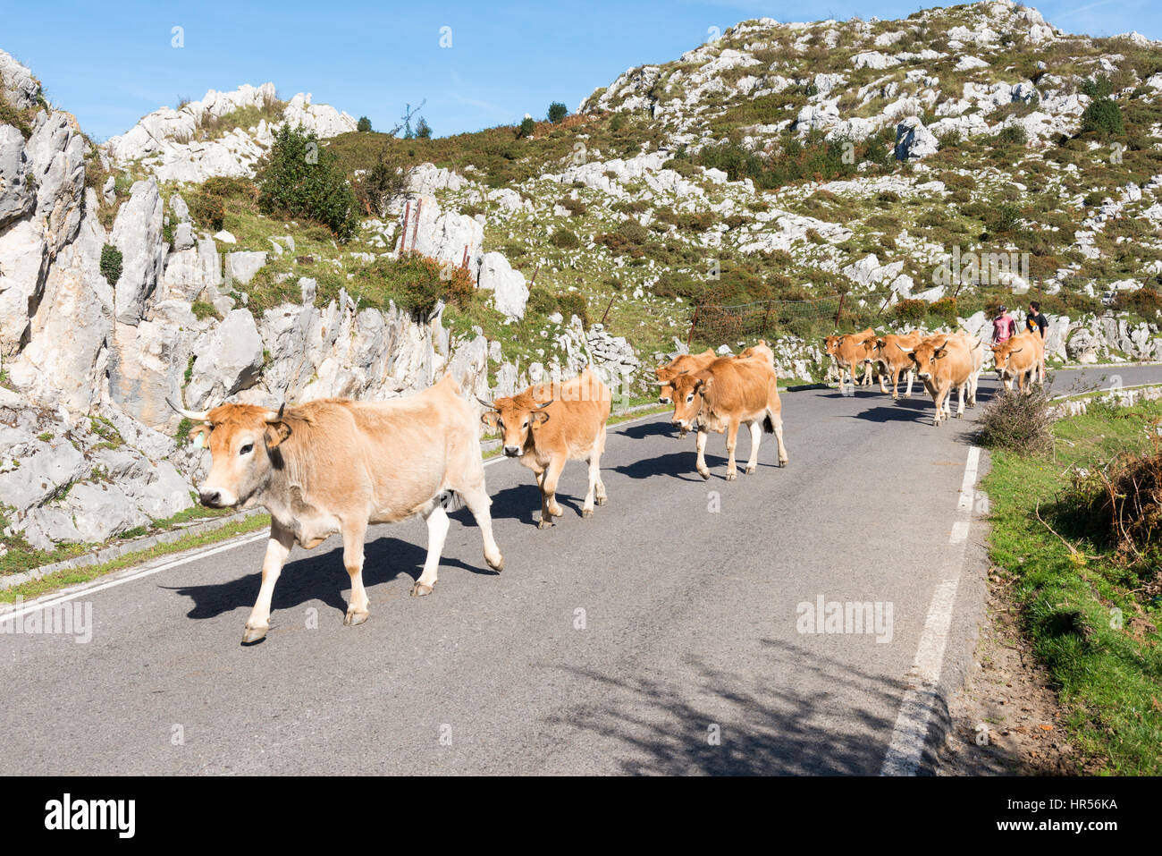 Cows being led down a road by shepherds in the Picos de Europa Asturias Spain - Stock Image