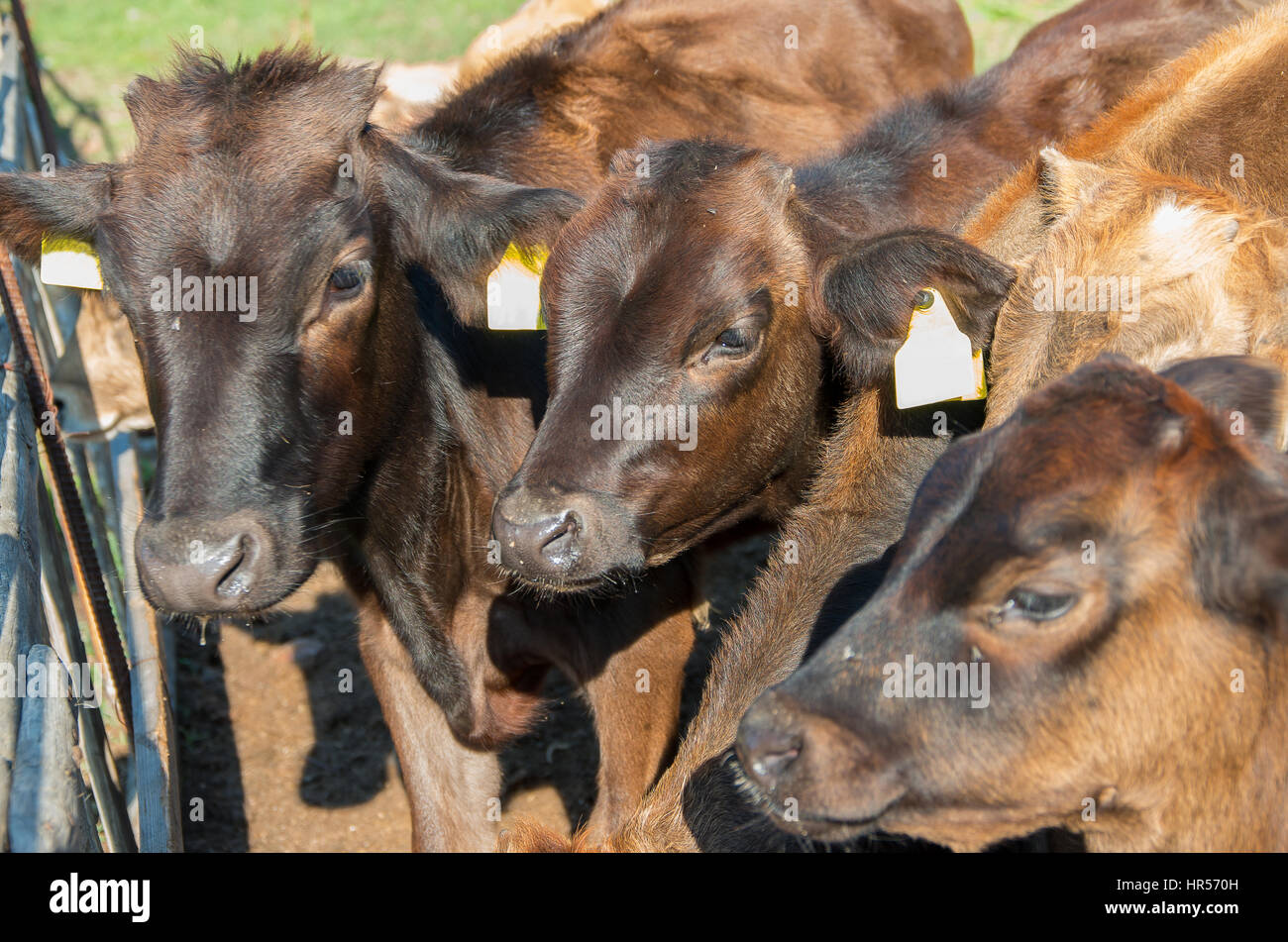 Calves. Baby cow calf standing at stall at farm countryside. - Stock Image