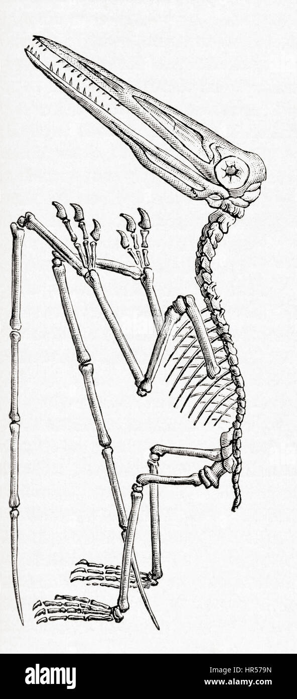 Fossil of a Pterodactylus, extinct flying reptile genus of pterosaurs.   From Meyers Lexicon, published 1927. - Stock Image