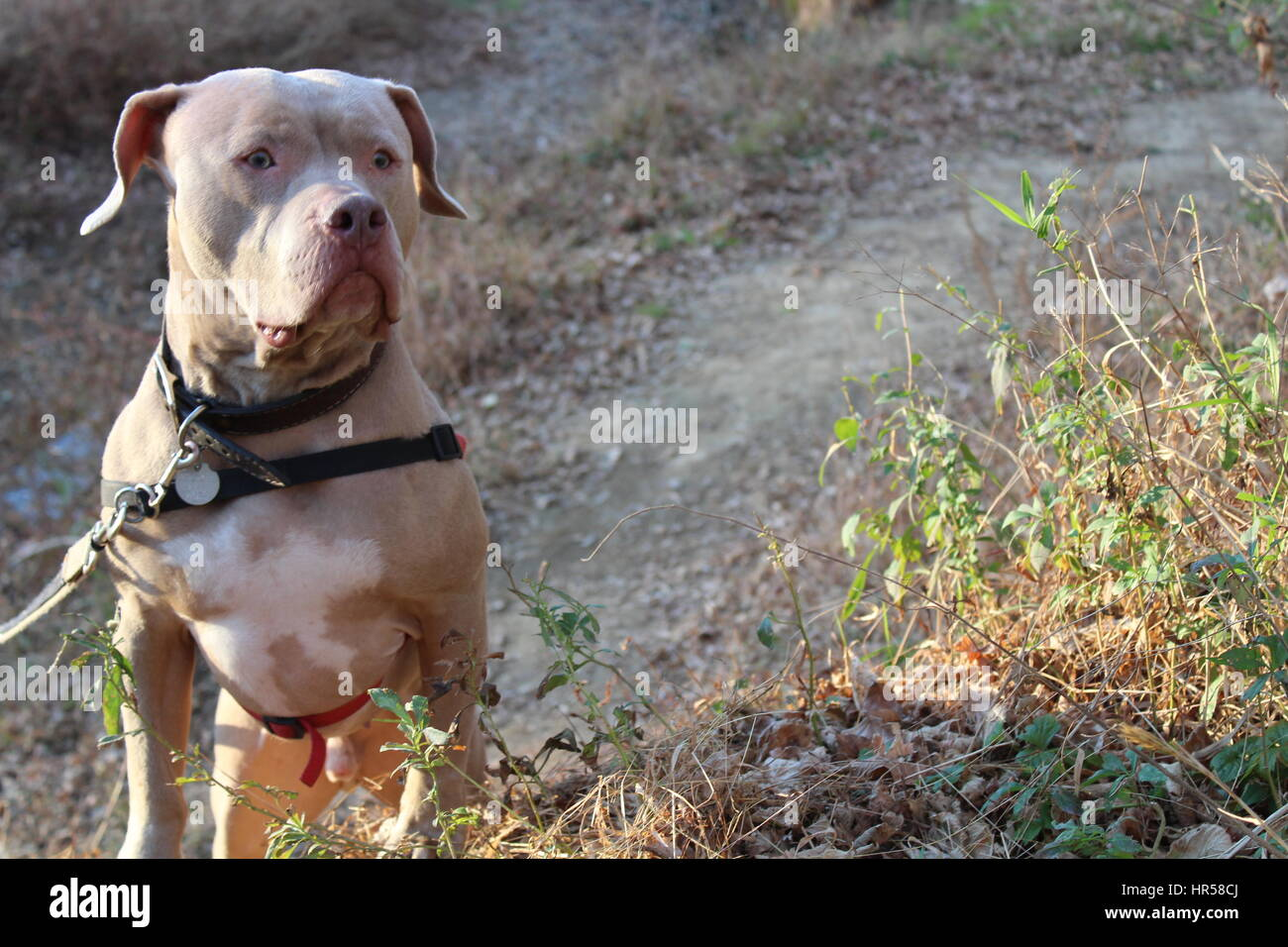 American Staffordshire Terrier. Pitbull - Stock Image