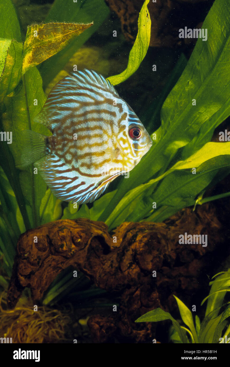 Diskusfisch, Diskus-Fisch, Diskusbuntbarsch, Diskus-Buntbarsch, Diskus, Symphysodon aequifasciatus, Symphysodon Stock Photo