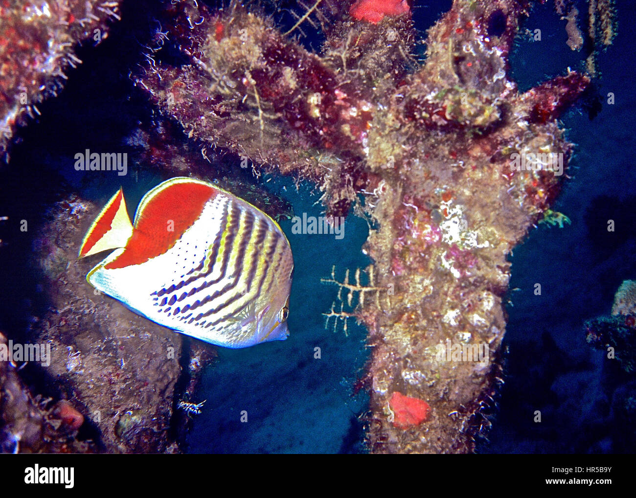 A cross-hatch butterflyfish (Chaetodon xanthurus) sheltering in a coral encrusted shipwreck. Photographed in Balinese - Stock Image