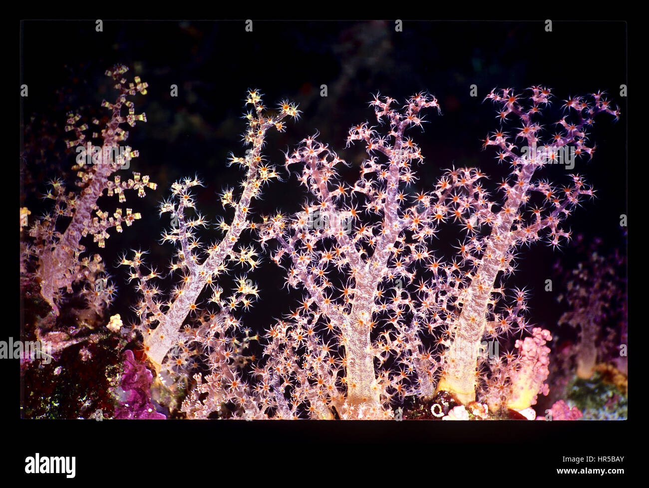 Four tree-like strands of the soft coral Dendronephthya hembrichi: three with their polyps extended and feeding - Stock Image