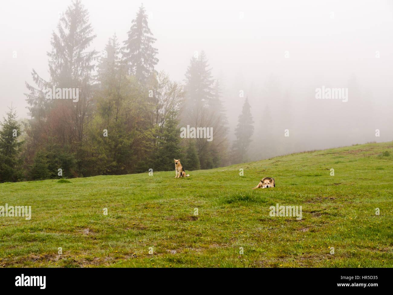 herding dogs lie on a hillside misty spring morning Stock Photo