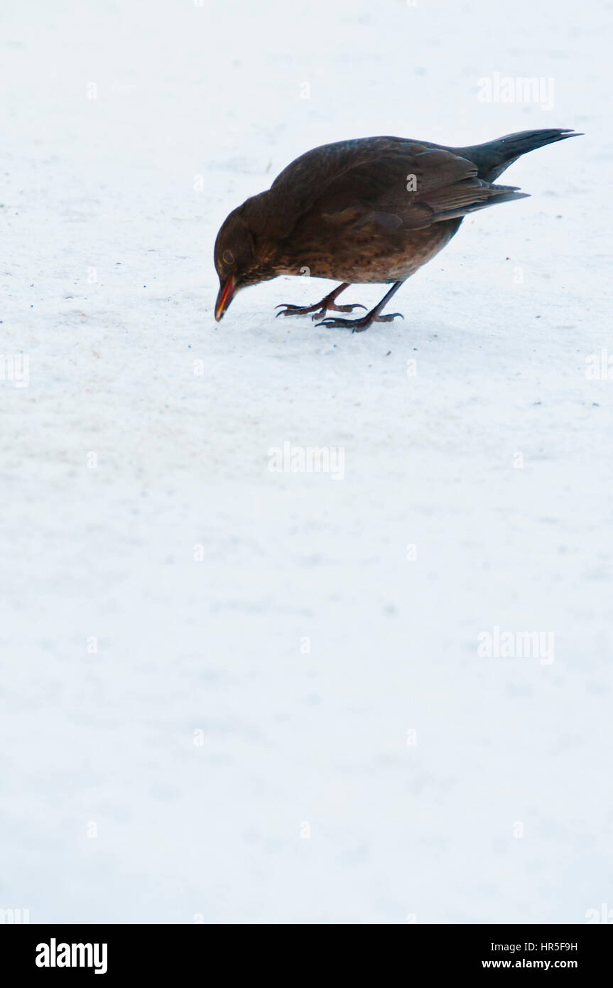 European starling bird looking for food in the snow - Stock Image