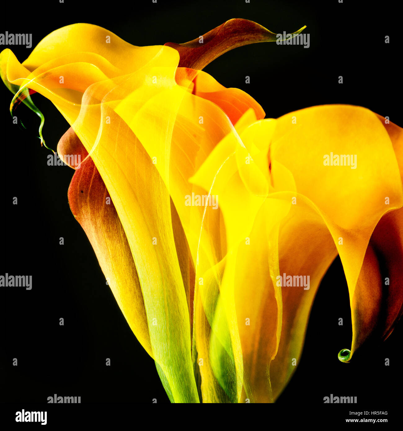 yellow Lily  Calla flower abstract, artistic composite of many flowers - Stock Image