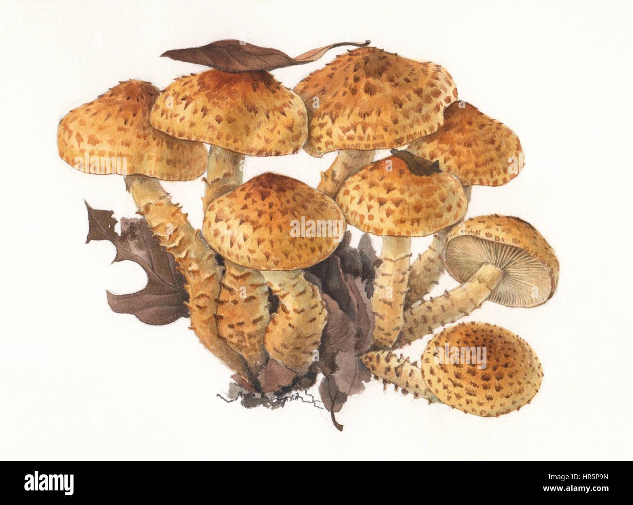 Mushrooms Pholiota scuarrosa. Hand painted watercolor illustration of wild mushrooms in natural context, against - Stock Image
