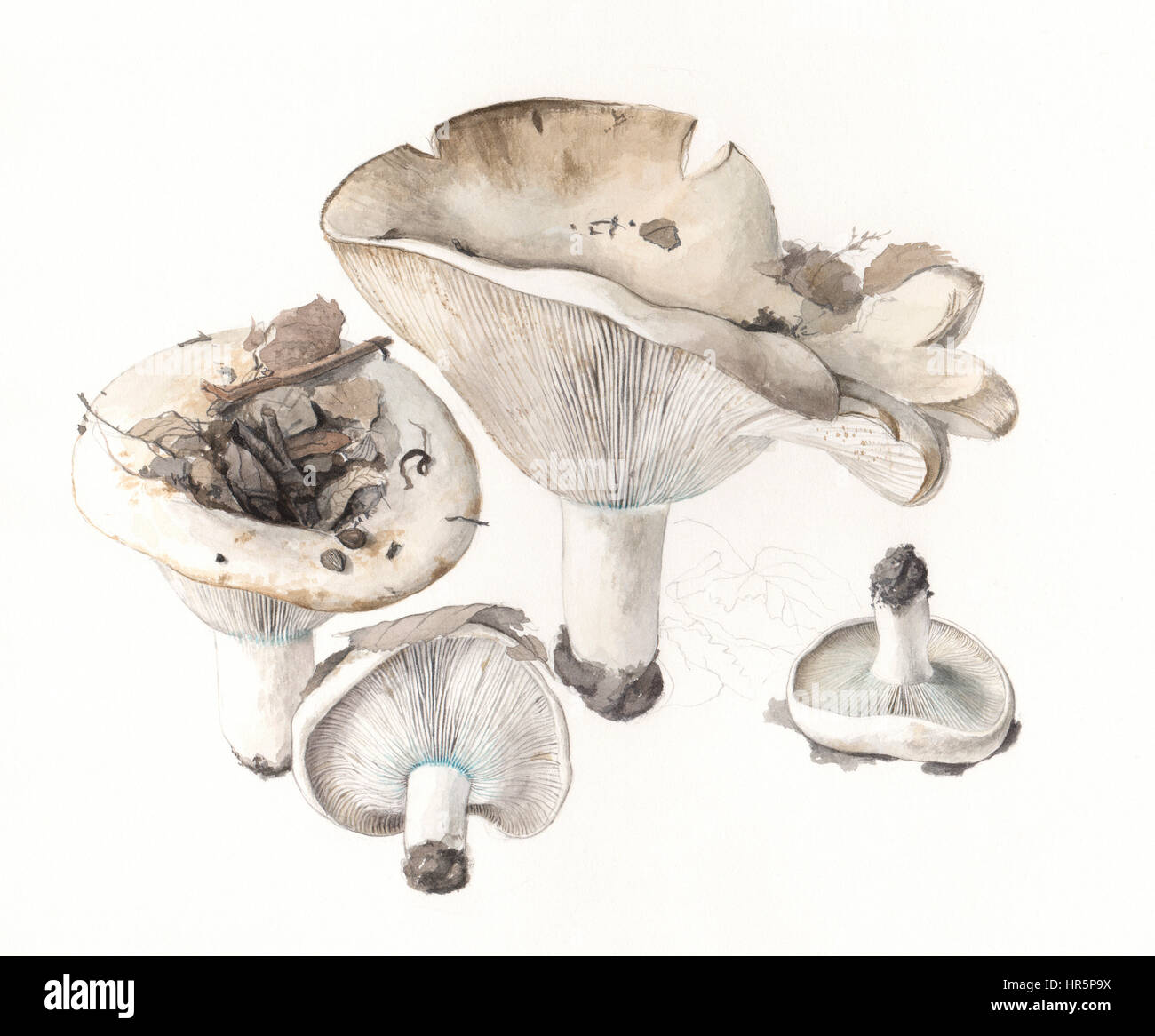 Mushrooms Russula brevipes. Hand painted watercolor illustration of wild mushrooms in natural context, against off - Stock Image