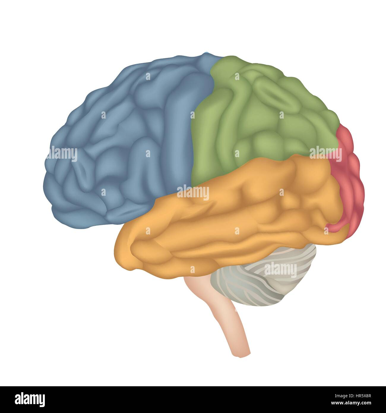 Brain anatomy. Human brain lateral view. Illustration isolated on white background. - Stock Image