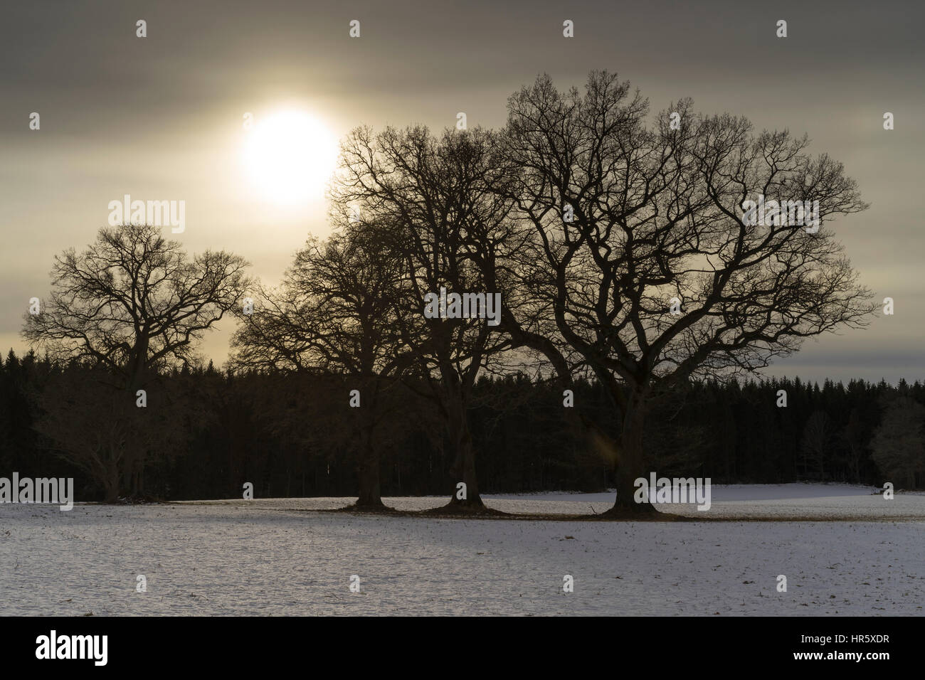 Oak trees and the sun. Nature and landscape in Sweden Scandinavia Europe. Cold winter day with snow on the ground. Stock Photo