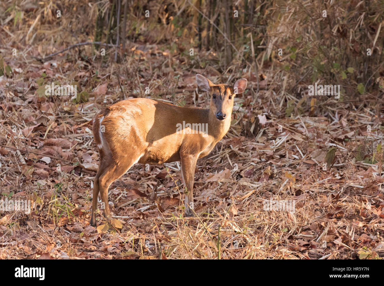 Adult female Barking Deer, - otherwise known as Indian Muntjac or Red Muntjac, - Muntiacus muntjak, Tadoba National - Stock Image