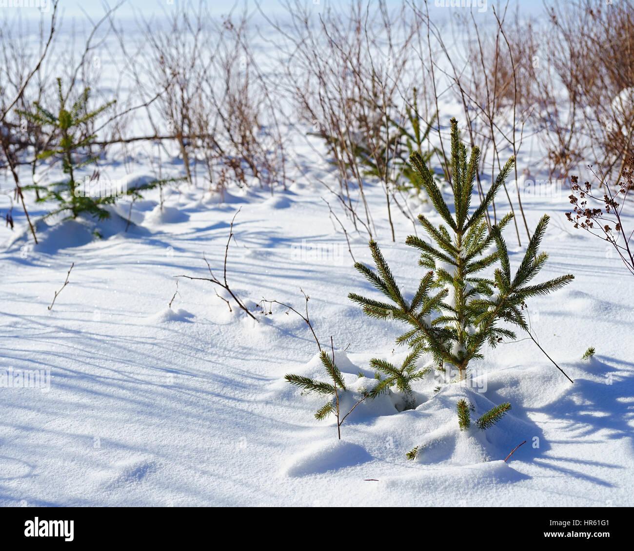 Little spruce tree in the winter landscape. - Stock Image