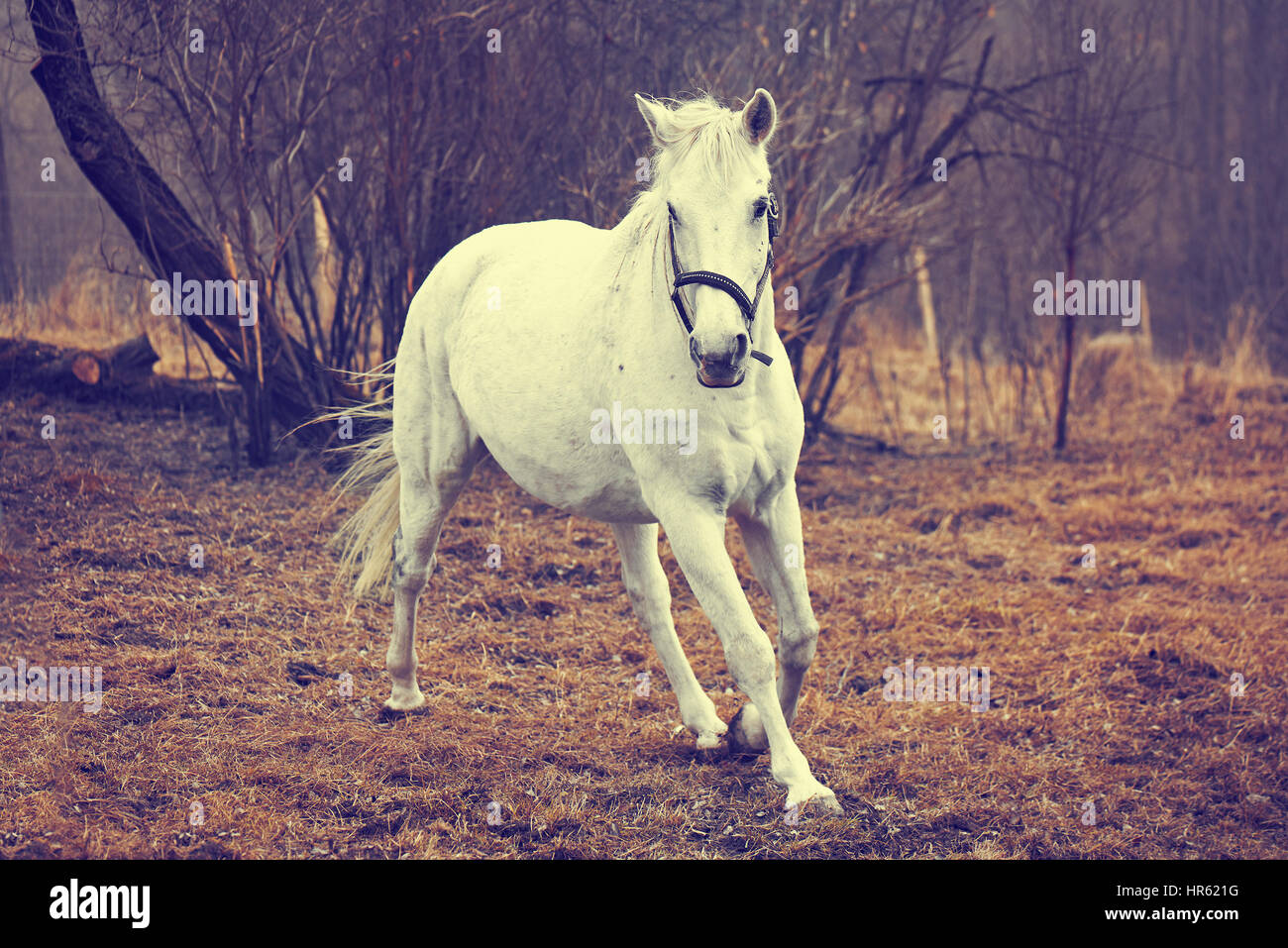 Beautiful White Horse Running Stock Photo Alamy