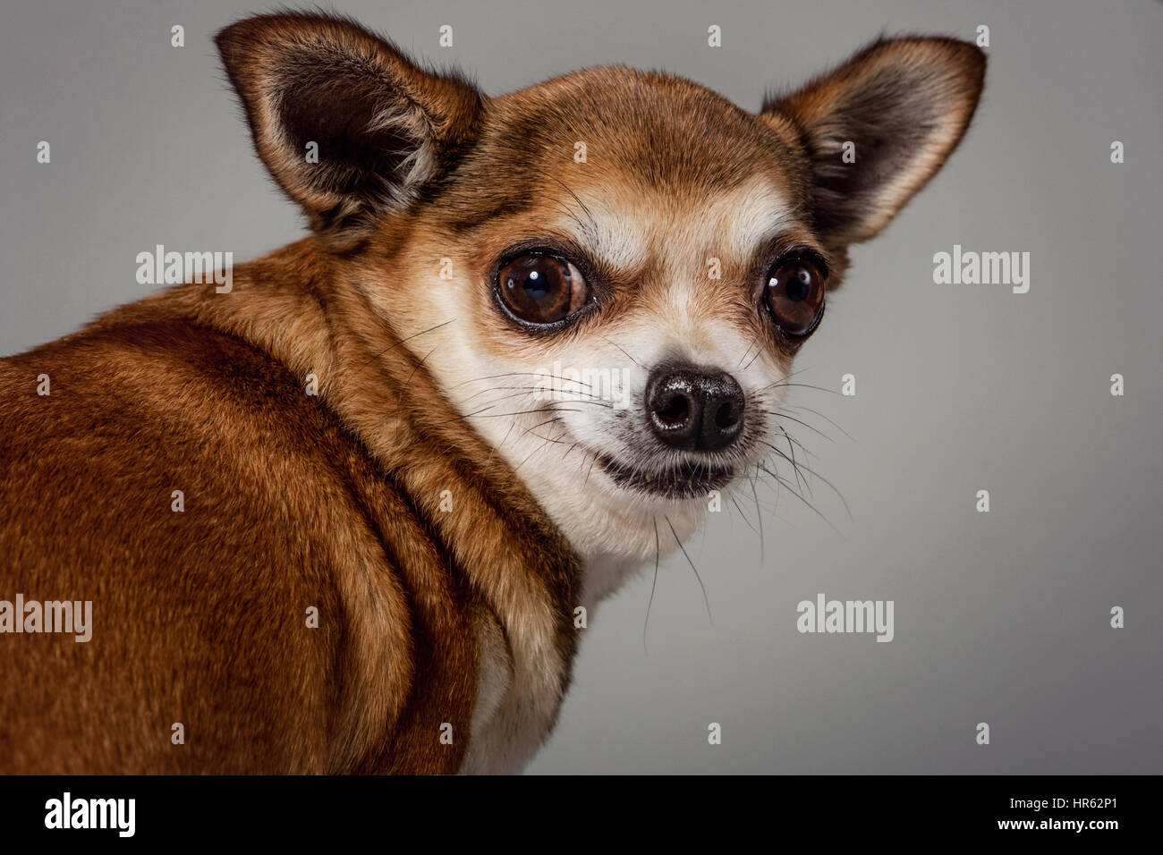 Studio portrait of a fawn-colored chihuahua looking over its shoulder with a half-smile. - Stock Image