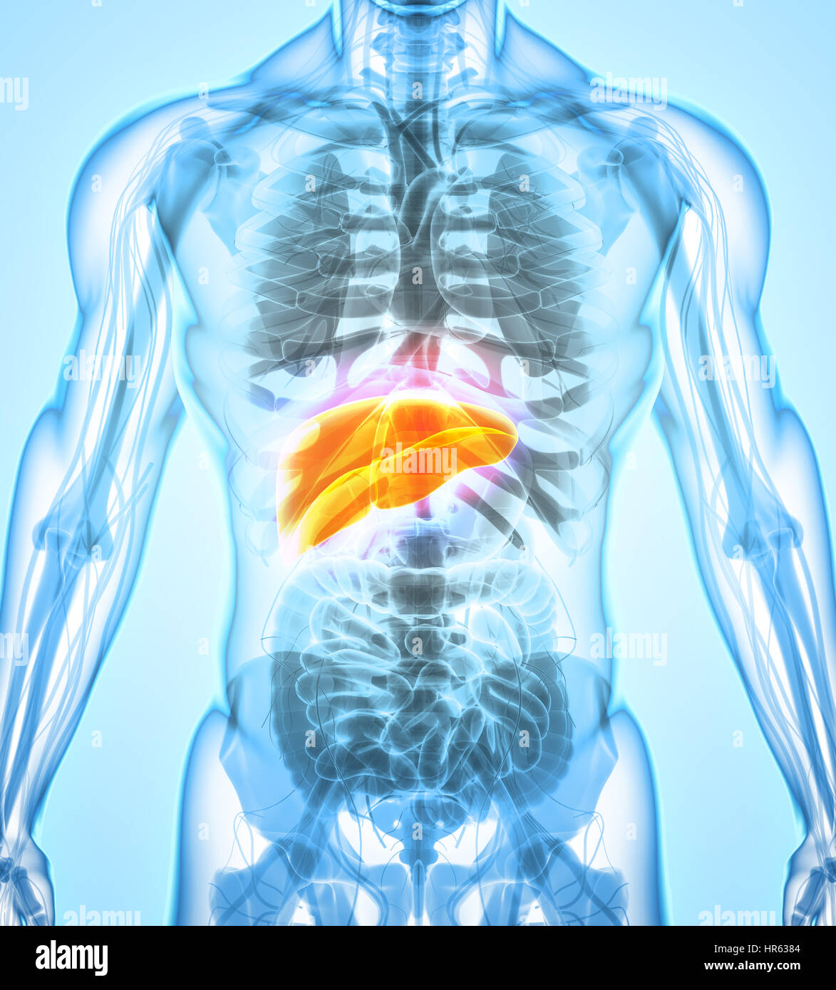 3D illustration of Liver - Part of Digestive System Stock Photo ...