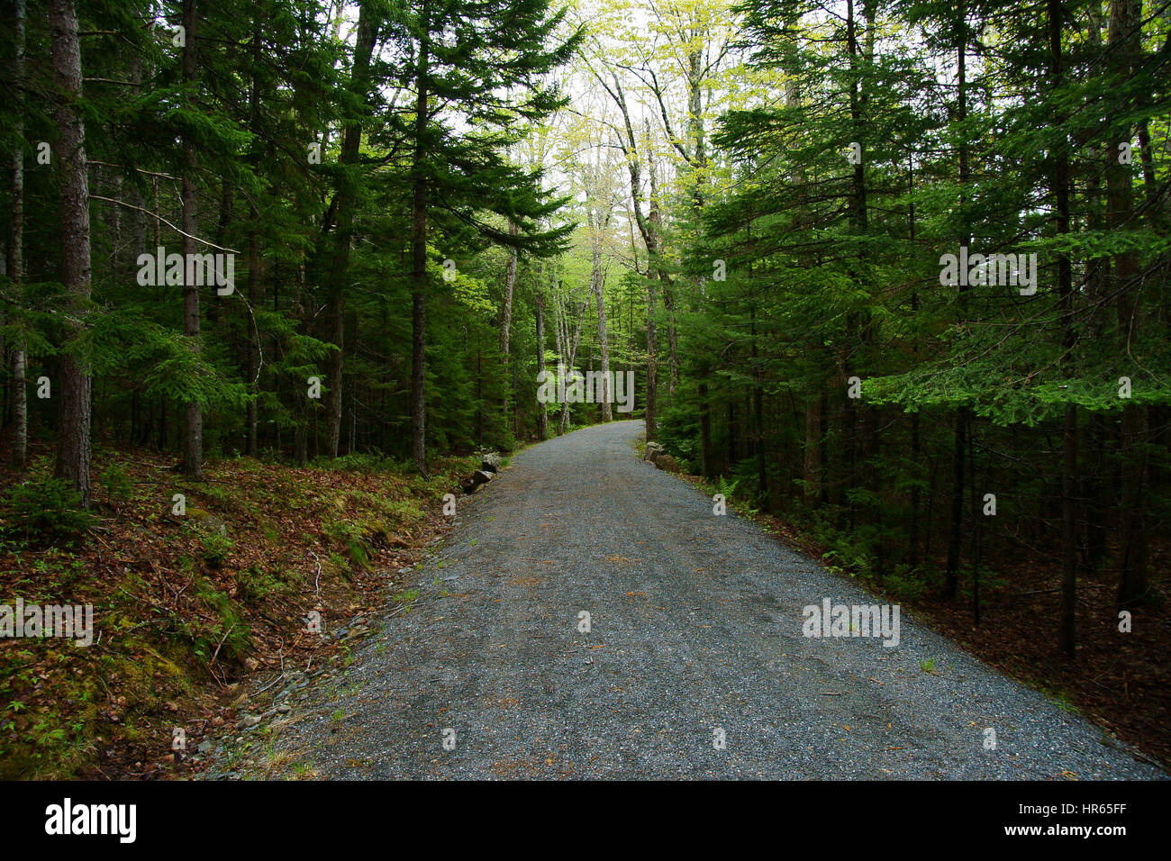 Gravel forest road with pine trees and firs and spruces on the sides - Stock Image