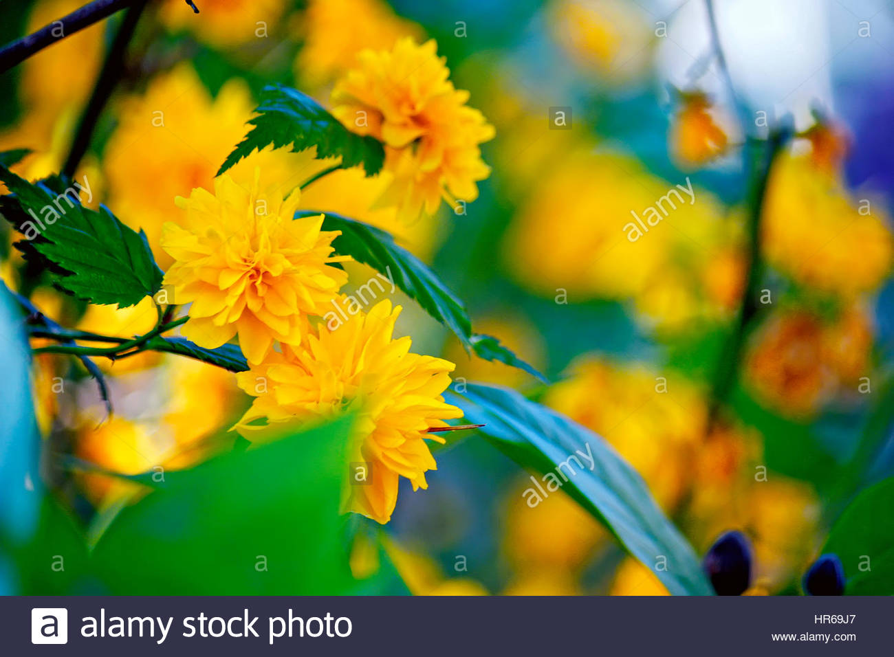 Spring flowers. Kerria japonica is a deciduous shrub in the rose family Rosaceae. - Stock Image