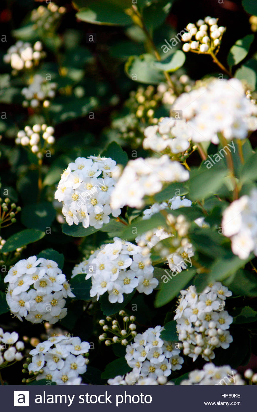 Lantana camara, also known as big sage, wild sage, red sage, white sage and tickberry is a species of flowering - Stock Image