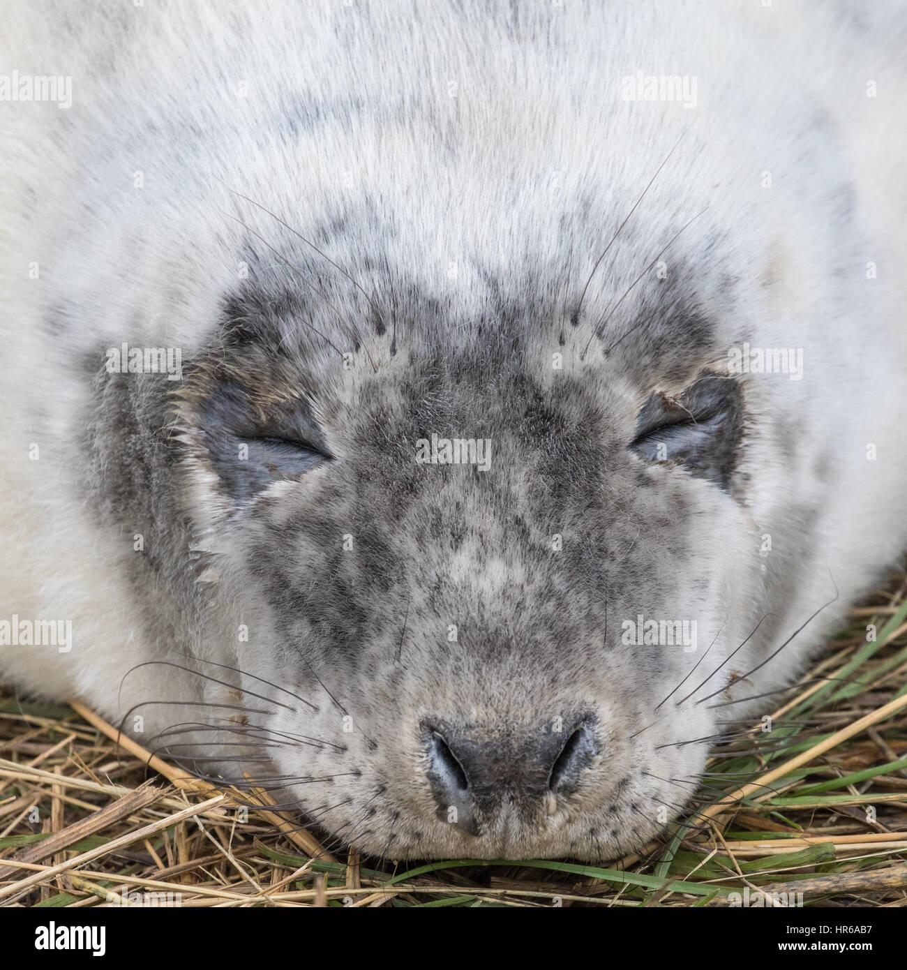 Grey Seal PupClose up of Head. Halichoerus grypus Stock Photo