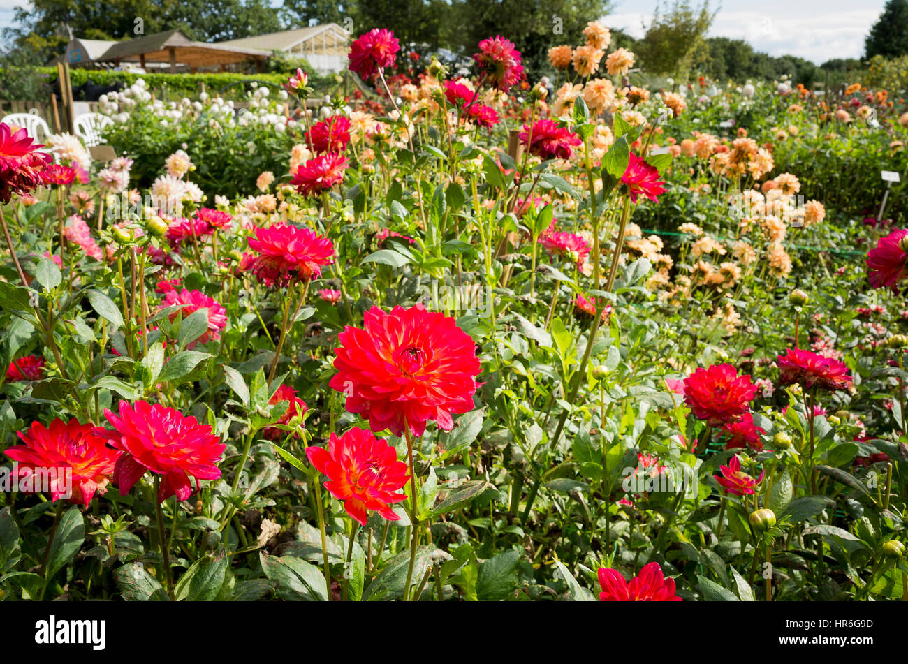 A Nursery field of growing flowering dahlias in Hampshire UK - Stock Image