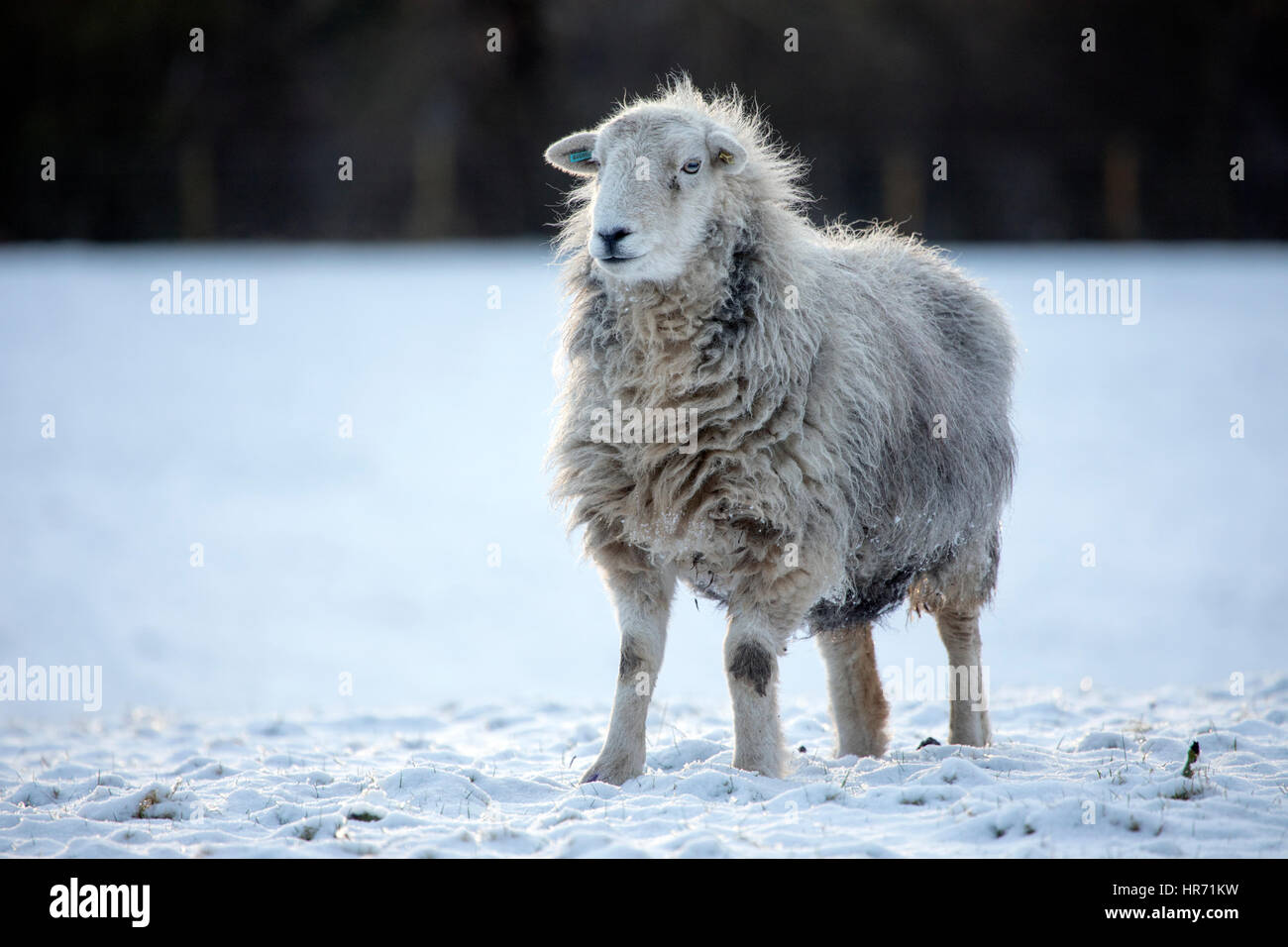 A single herdwick sheep in a snow covered field near to the village of Nannerch in North Wales after recent snow - Stock Image