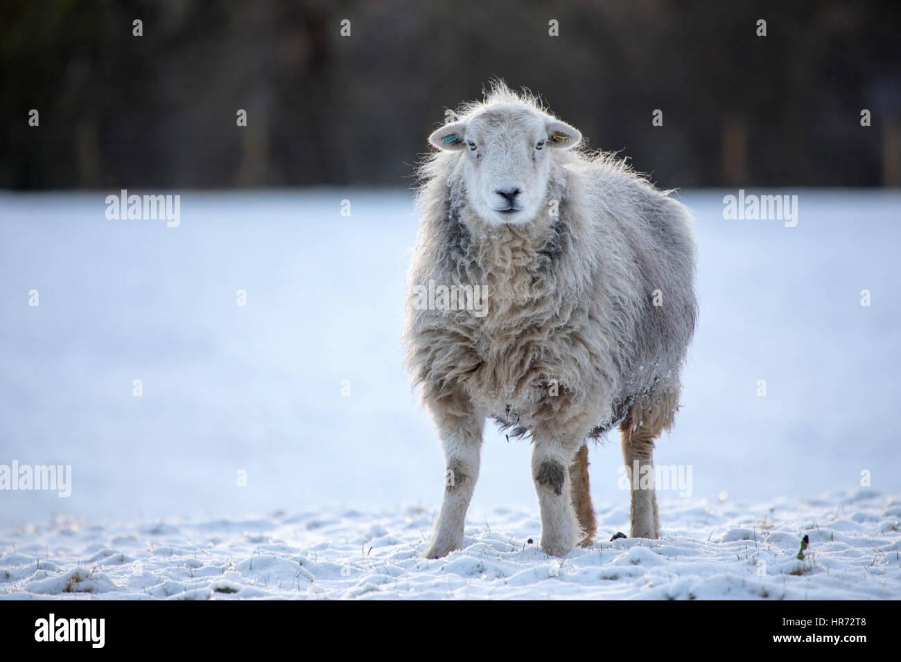 Woolly Herdwick sheep standing in snow in rural Flintshire during a brief spell of snowy weather in Wales, UK - Stock Image