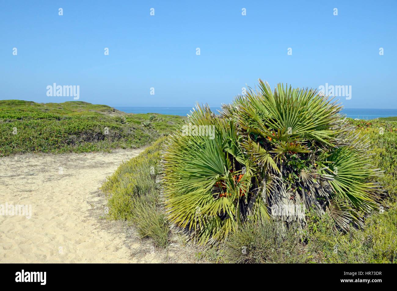 Mediterranean Fan Farn (Chamaerops humilis), in garigue, Sinis, Sardinia, italy - Stock Image