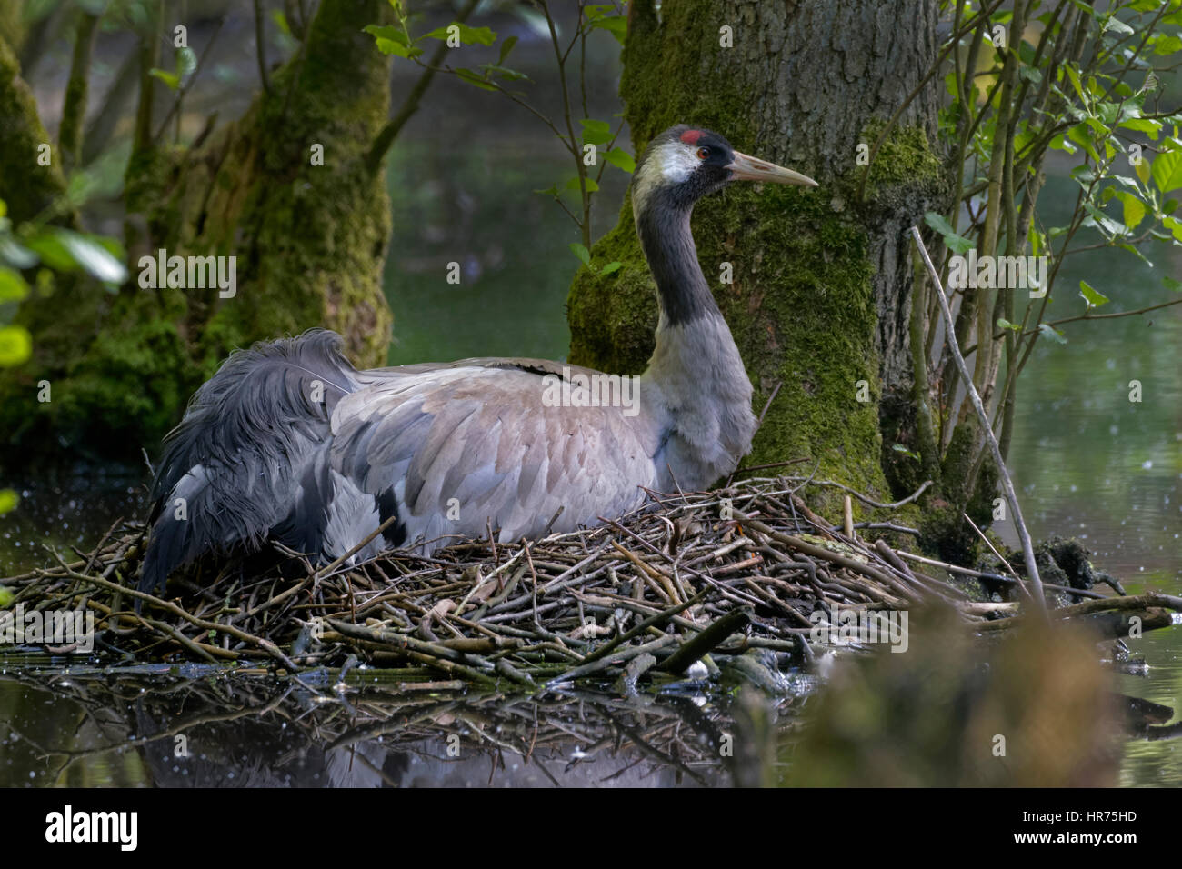 Common Crane, (Grus grus), incubating, Mecklenburg-Western Pomerania, Germany, Europe Stock Photo