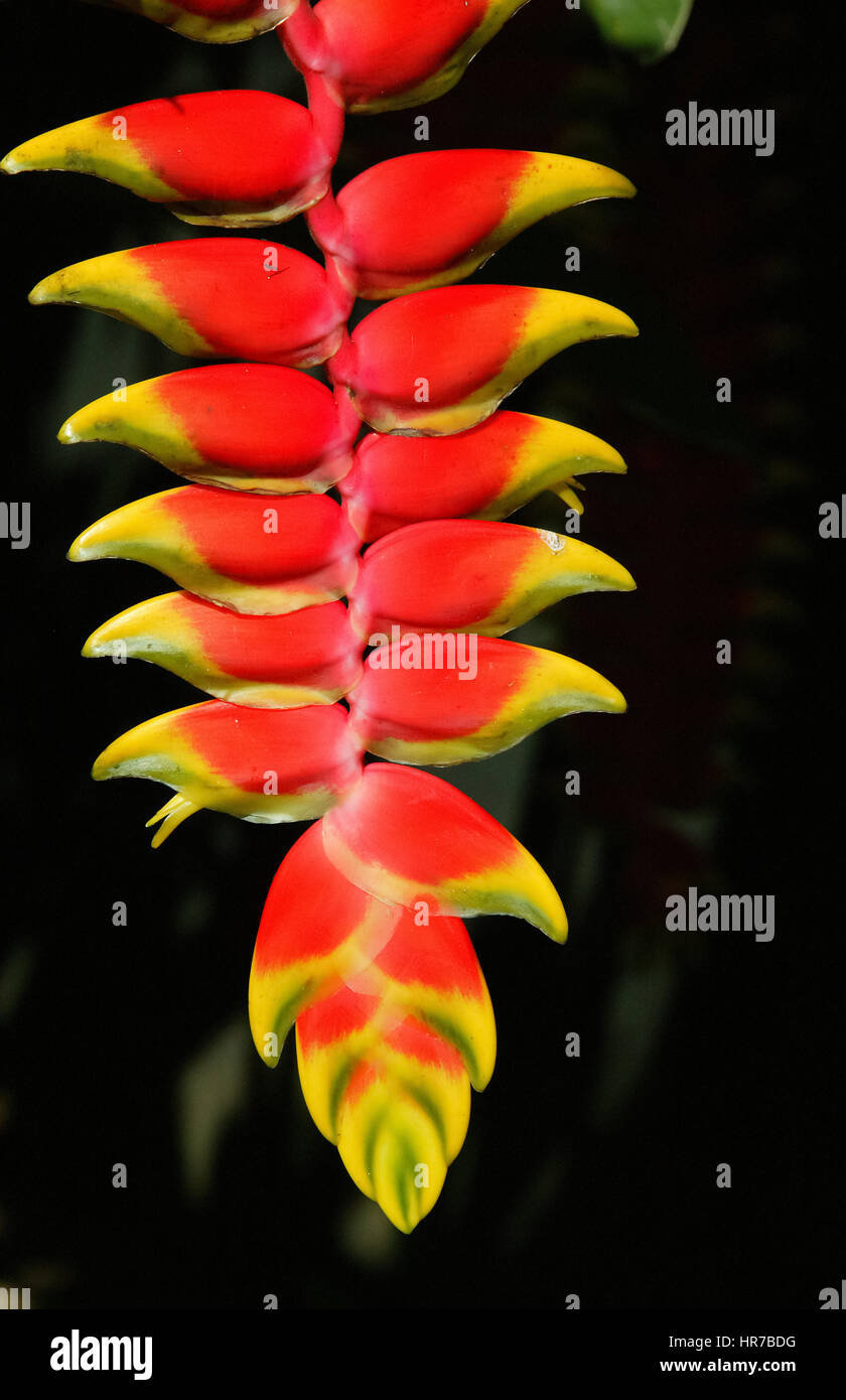 Red Heliconia (Heliconia pendula), flowering, Mauritius, garden of the 1819 colonial house Le Saint Aubin, Anturie, - Stock Image