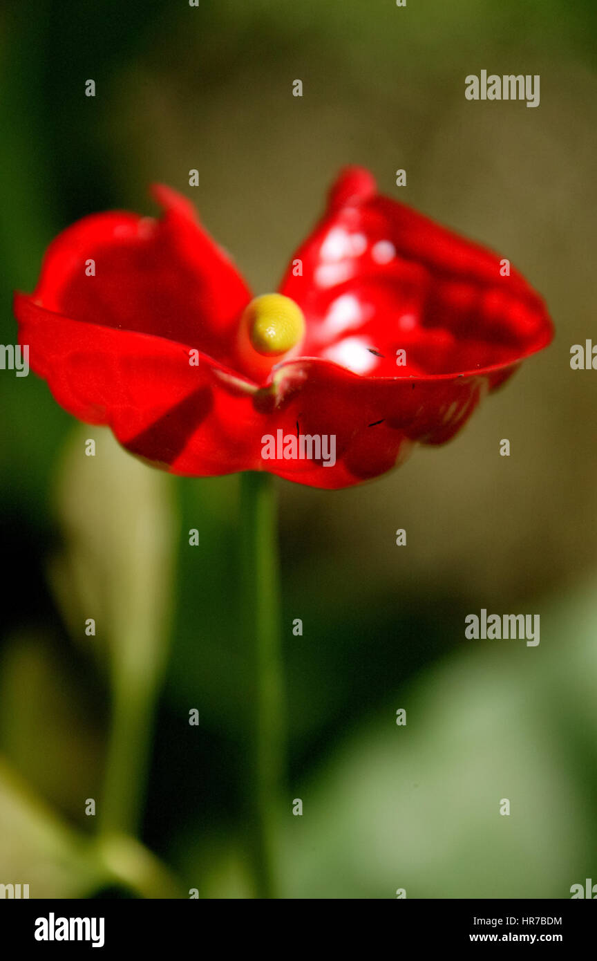 Anthurie, Große Flamingoblume (Anthurium andraeanum), flowering, Mauritius, garden of the 1819 colonial house - Stock Image