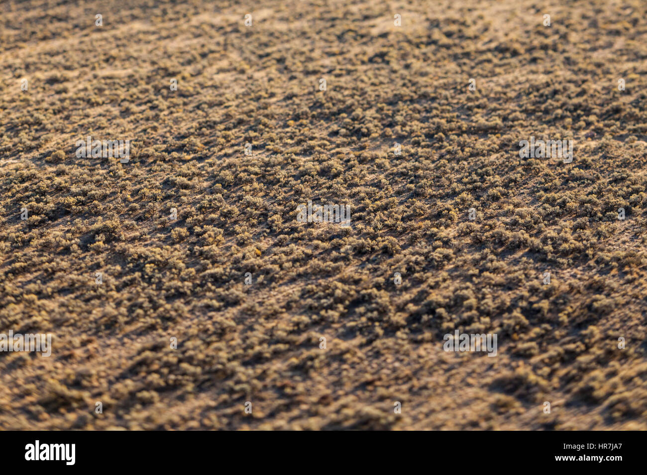 A valley floor covered with sage brush near sunset, Frenchman's Coulee, near Vantage, Washington, USA. - Stock Image