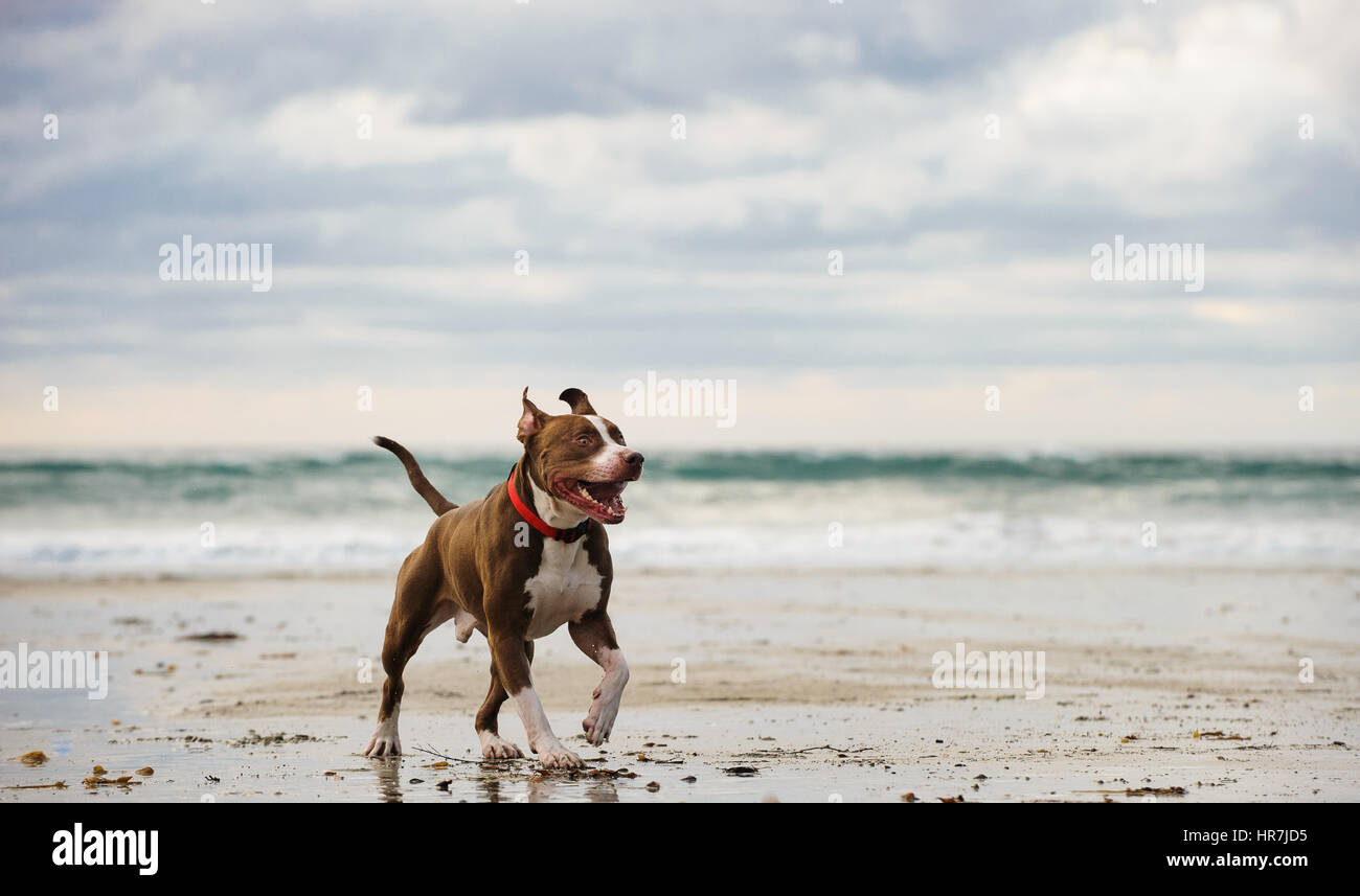 American Pit Bull Terrier - Stock Image