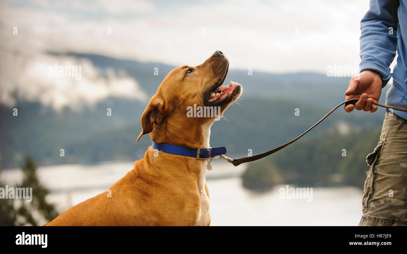 American Pit Bull Terrier on leash pay attention to dog trainer - Stock Image