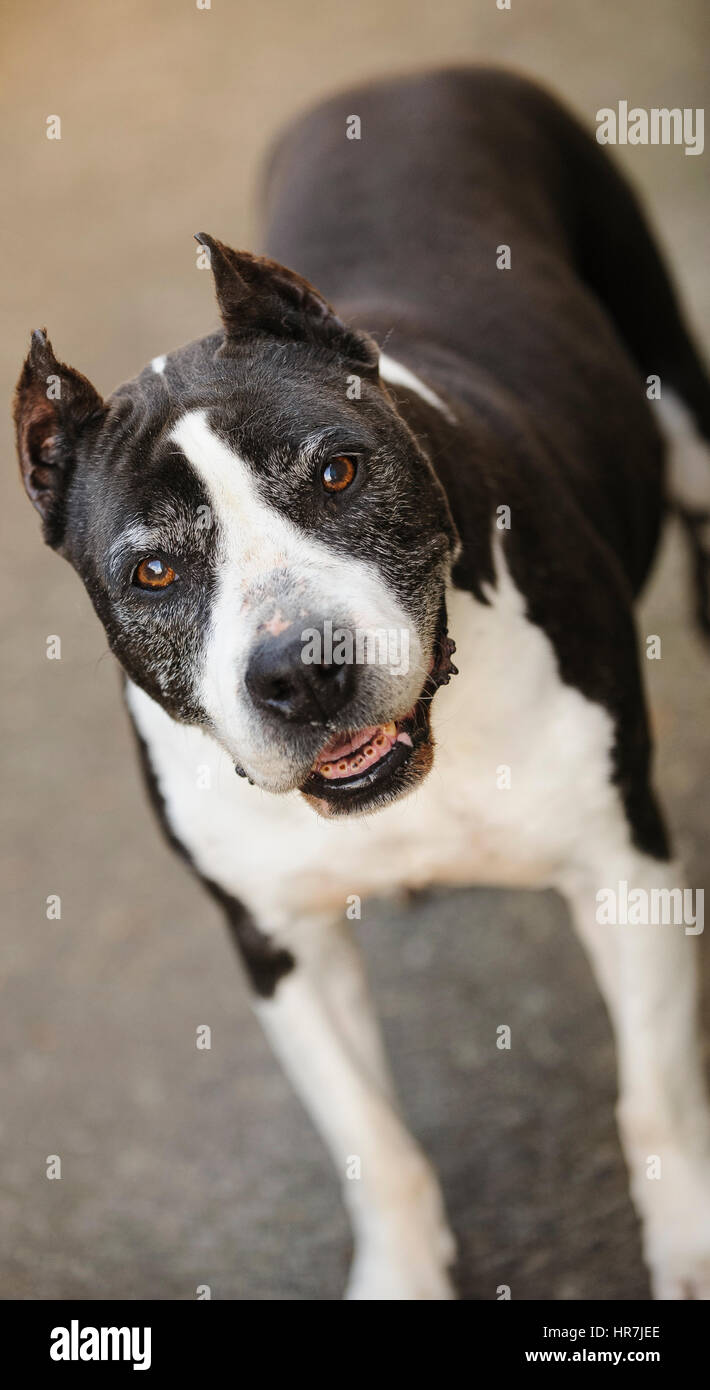 Senior American Pit Bull Terrier with cropped ears - Stock Image