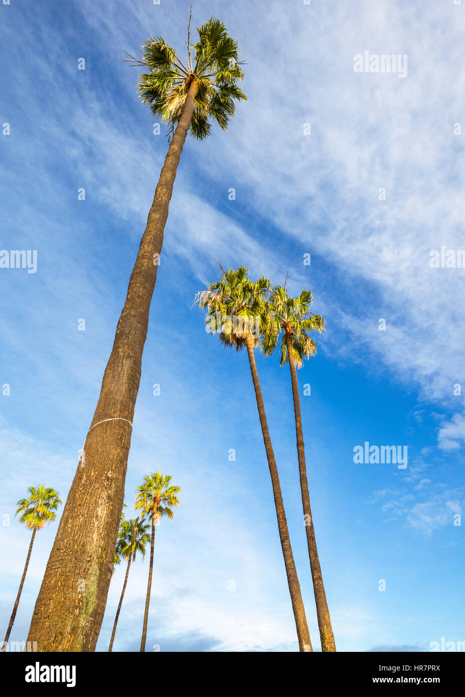 Palm trees against a cloudy sky. California, USA. - Stock Image
