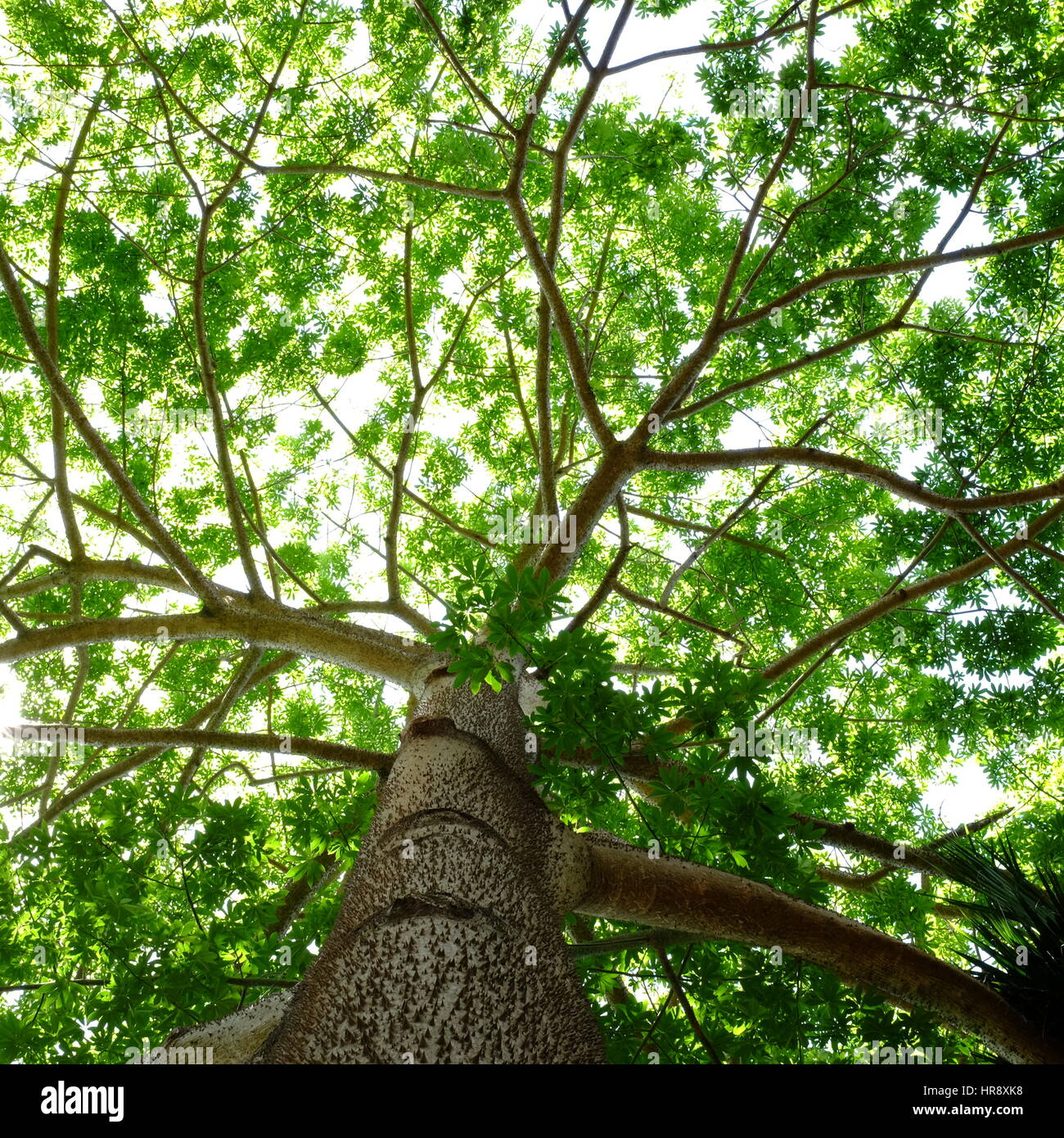 Tree canopy - Stock Image