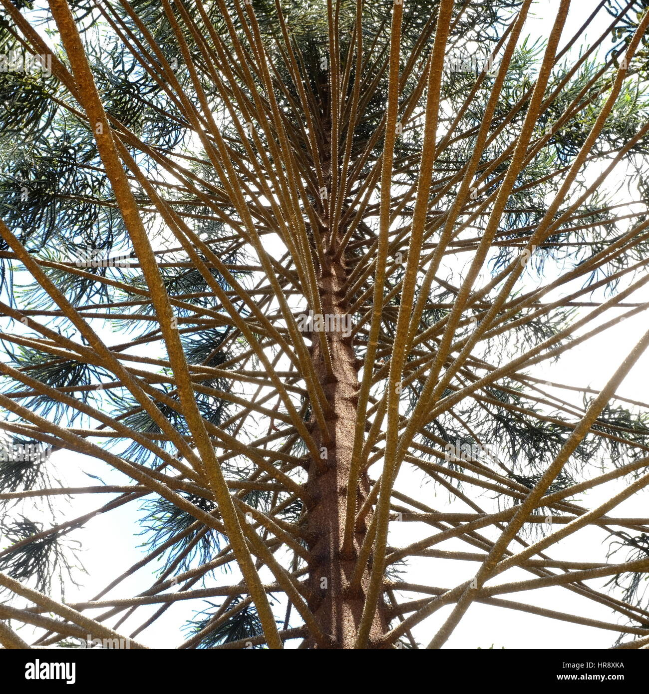 Bunya branches - Stock Image