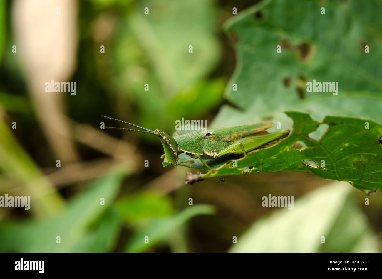 locusts ate Stock Photo