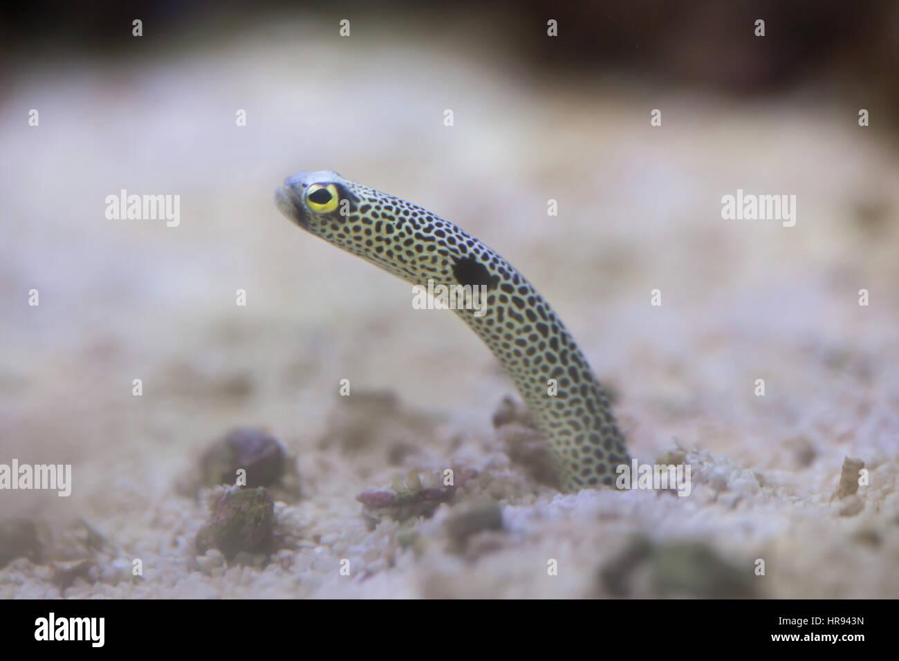 Spotted garden eel (Heteroconger hassi). Stock Photo