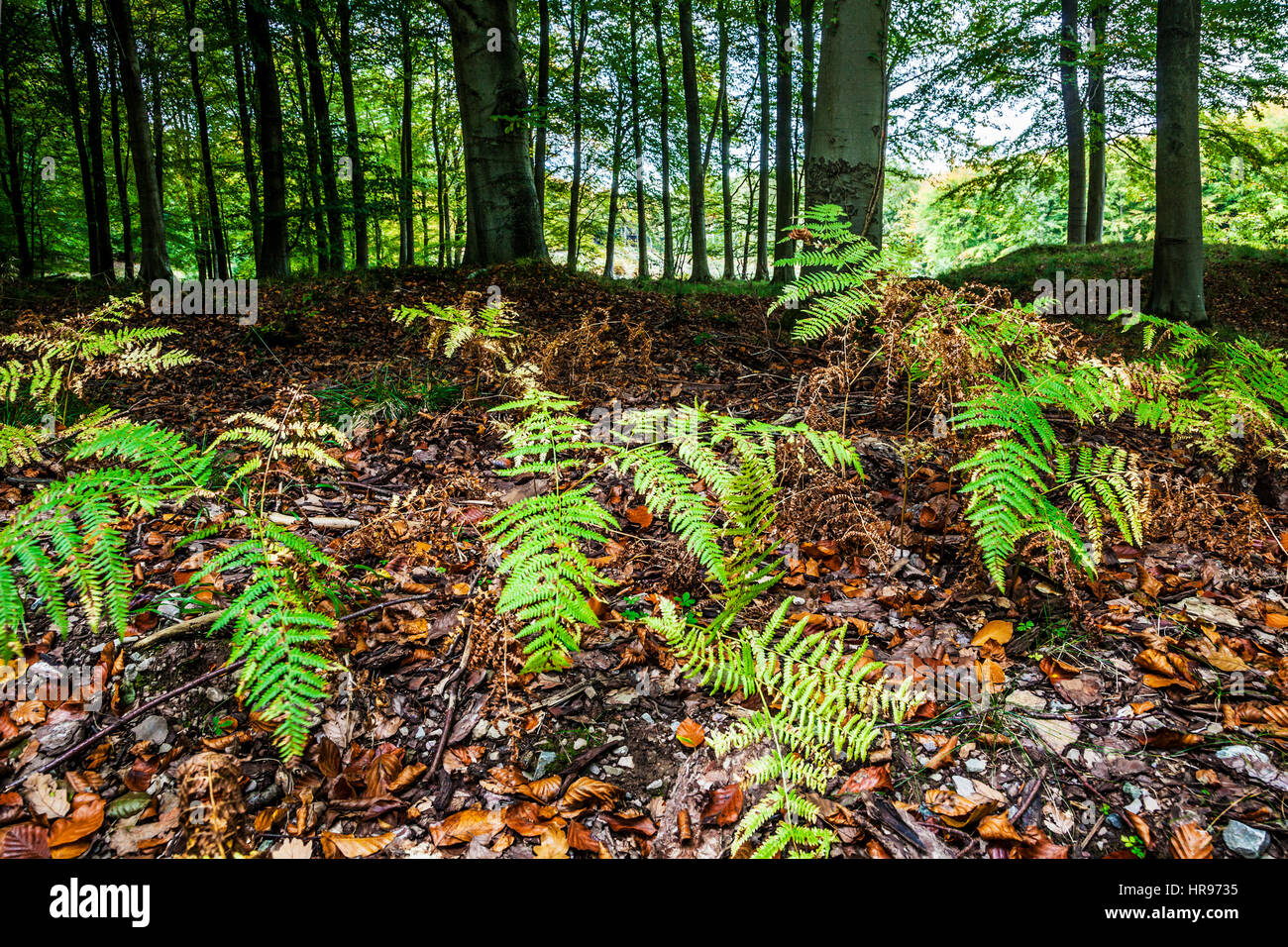 The Forest of Dean in Gloucestershire. - Stock Image