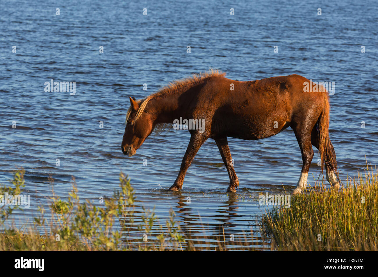 Assateague Pony (Equus caballus) wading in water in Assateague Island National Seashore, MD, USA - Stock Image