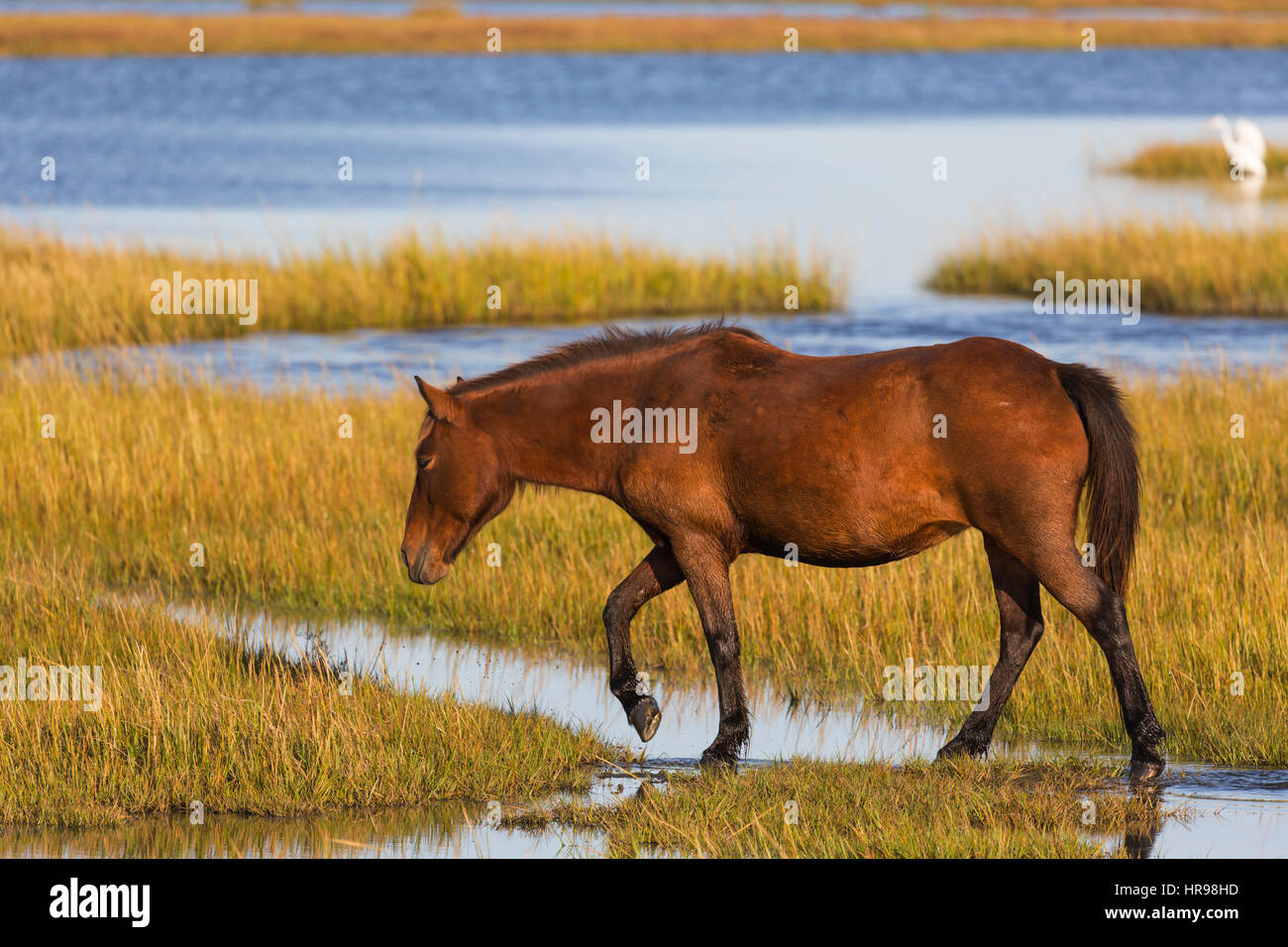 Assateague Pony (Equus caballus) looking for food in a marsh in Assateague Island National Seashore - Stock Image